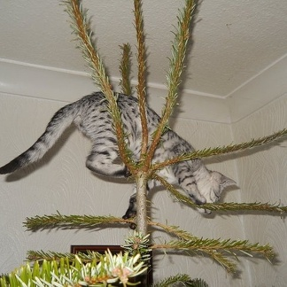 Silver Egyptian Mau climbing Christmas tree