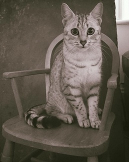 Isla Silver Egyptian Mau sat on wooden chair