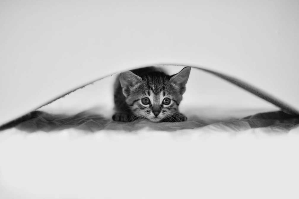 Silver Egyptian Mau kitten hiding