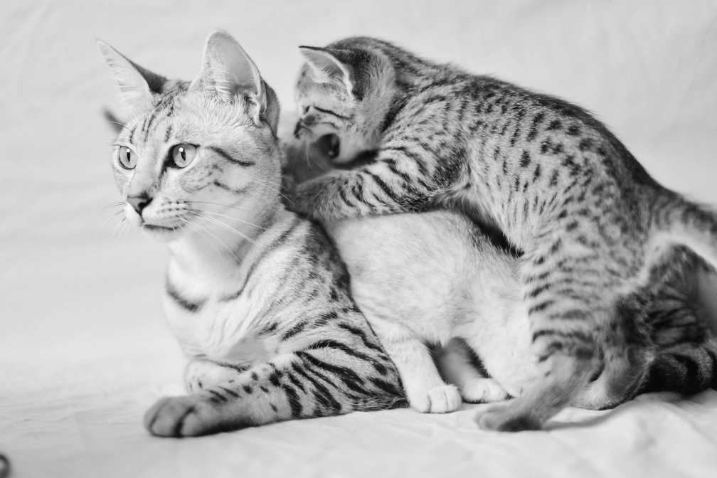 Silver Egyptian Mau with kitten