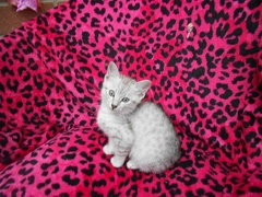 Lotus the Silver Egyptian Mau Kitten