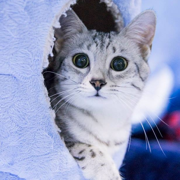 Luna the Silver Egyptian Mau Kitten