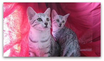 Aequinoctium Cattery photo of egyptian mau cat