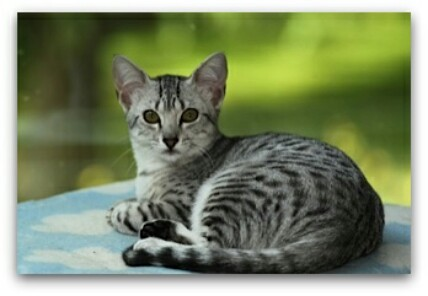 Cattery-Obsidiaan photo of egyptian mau cat