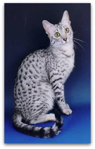 Photo of silver egyptian mau cat